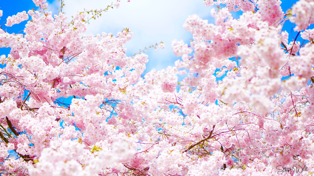 CherryBlossom Picture Pretty Pink Blue Sky Cherryblossoms Beautiful